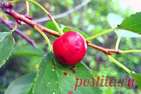 Cherry diseases: the description with photos and ways of treatment