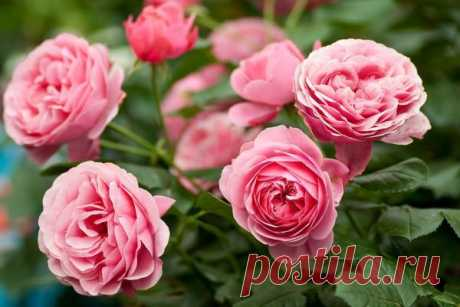 The main mistakes at cultivation of roses