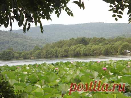 Приморский край. Лотосовое озеро.Август месяц , самое цветение...