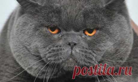Названа новая опасность домашних кошек! - Все самое интересное! Приятного мало… В Копенгагенской университетской больнице специалисты выяснили, что в теле домашних...