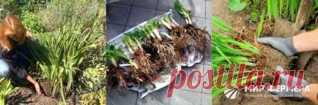 Лилейники: сорта, фото, посадка и уход в открытом грунте