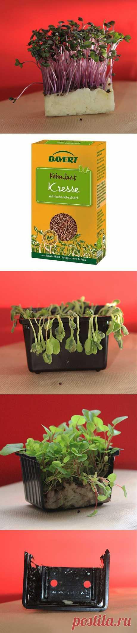 Как легко и быстро вырастить кресс-салат на подоконнике.  Кресс-салат нетребователен к свету, я бы даже сказал, — тенелюбив. Его даже можно растить в кухонном шкафу, чтобы ваши домашние животные до него не добрались (привет тебе, мой милый котик!Кресс-салат — однолетнее растение, семена его похожи на семена горчицы. Он быстро растет,а употреблять его в пищу надо, когда он достигает в высоту 8-10 см. Очень важно, чтобы субстрат был всегда увлажнен.