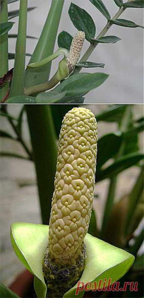 Как цветет необычный замиокулькас.