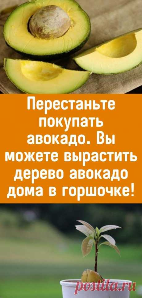 Перестаньте покупать авокадо. Вы можете вырастить дерево авокадо дома в горшочке!