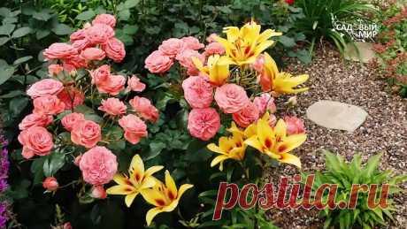 Какие цветы посадить с розами. Соседи для розы