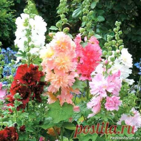 Мальва или шток-роза: что надо знать цветоводам