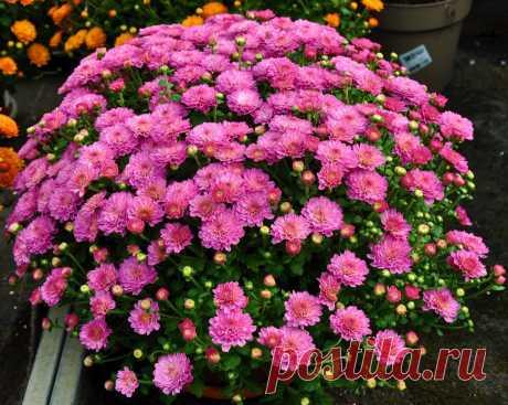 Что за цветы, которые сажают почти все мои соседи на даче? | Домашний УЮТ |