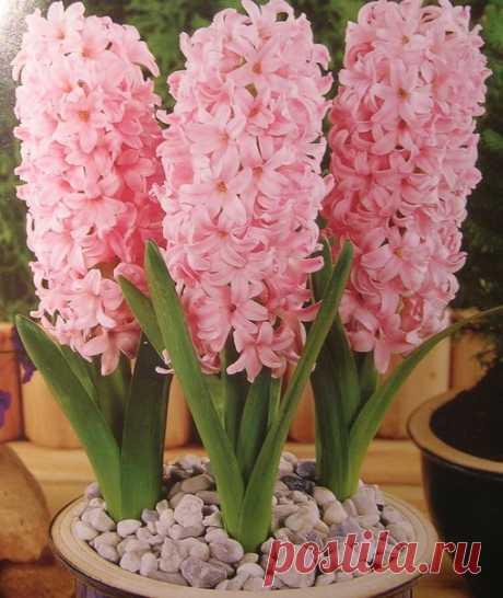 Гиацинты - чудесный подарок весны / Богатая добыча