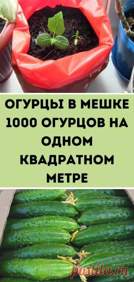 Огурцы в мешке — 1000 огурцов на одном квадратном метре