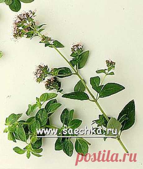 Майоран | Saechka.Ru - рецепты с фото
