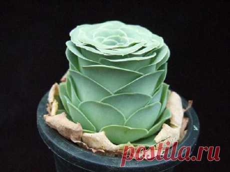 greenovia dodrentalis Эти удивительные суккуленты в виде роз будто пришли из сказки