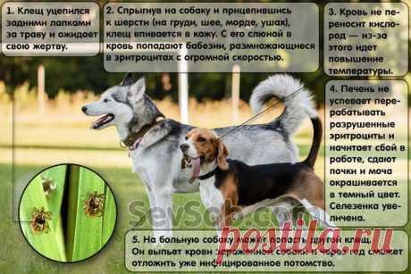 КАК ЗАЩИТИТЬ СОБАКУ ОТ КЛЕЩЕЙ    Практически все владельцы слышали о том, что клещи опасны для собак. А чем опасны, что вызывают и как правильно защитить свою собаку от клещей, знают не все.   Вот некоторые заблуждения владельцев…