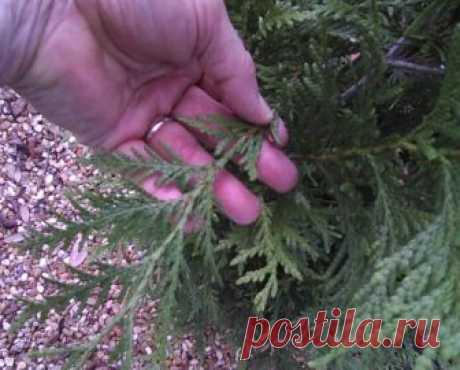 Размножение хвойных черенками зимой – самый легкий способ получения саженцев