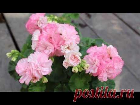 Удобрение для пеларгоний от черенка до пышного цветения. Подкормки поэтапно, чем и как удобрять.