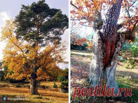 Ствол дуба служит домом для сосны. Оба дерева живы и делят жилое пространство уже более столетия. Сосне 130 лет, а дубу - 250.