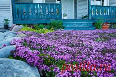 Топ-15 лучших стелющихся многолетников — яркие коврики на даче — Садоводка