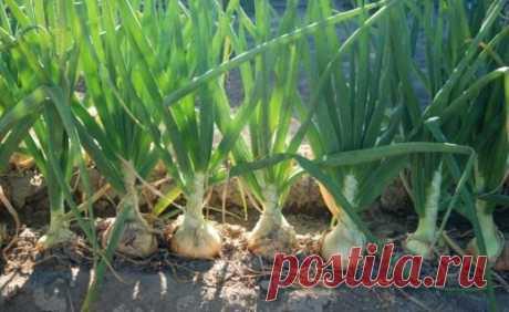 La cultivación de la cebolla de sevka
