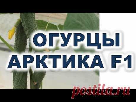 Огурцы Арктика F1 - шедевр иностранной селекции Лучший гибрид огурцов для теплицы и открытого грунта