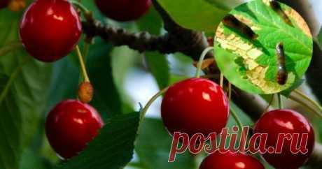 Как бороться с вишневым слизистым пилильщиком Слизистый пилильщик любит полакомиться молодыми сочными листьями плодовых деревьев и ягодных кустарников. Чтобы защитить сад, надо вовремя распознать вредителя и применить правильные методы борьбы. Личинки и ложногусеницы вредителя в самый разгар сезона оставляют растения без зеленой массы, а...