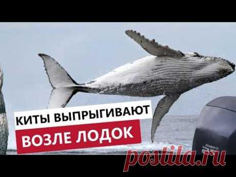 НЕВЕРОЯТНЫЕ ПРЫЖКИ КИТОВ. Гигантский кит выпрыгнул из воды прямо перед лодкой