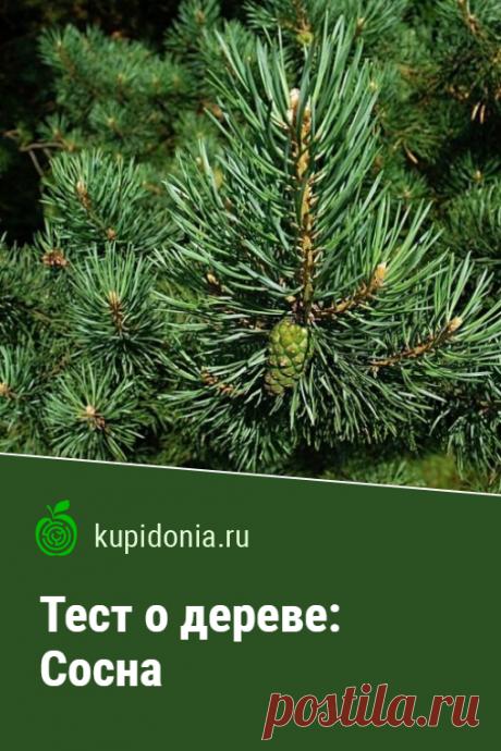 Тест о дереве: Сосна. Интересный тест о сосне из серии тестов о деревьях. Проверьте свои знания!