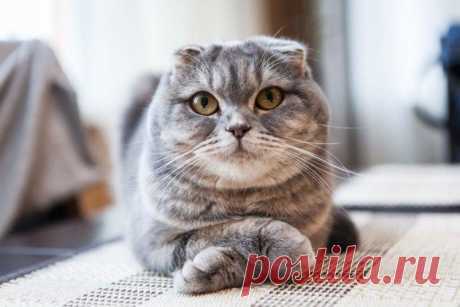 Шотландские вислоухие кошки - описание породы, характер и уход (фото)