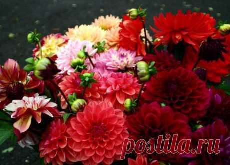 Георгины - когда выкапывать и как хранить? Георгины – красивые цветы с пышным цветением. Когда выкапывать и как хранить георгины? Даже опытные цветоводы не всегда могут сохранить все клубни цветов до весны. В октябре самое время выкапывать клубни георгин и готовить к зимнему хранению.