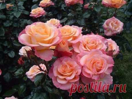 Many summer residents want to plant garden roses on a bed and to admire them all season. However there are 6 mistakes in cultivation of roses at the dacha which should be considered that flowers grew not only 1 year, but also in the subsequent time.\u000a\u000a6 mistakes in cultivation of roses at the dacha:\u000a\u000a1. Planting a rose in soil, it is not necessary to leave an inoculation on a soil surface. It is better to deepen a root neck of a plant on 2-3 centimeters in soil.\u000aTo show completely …