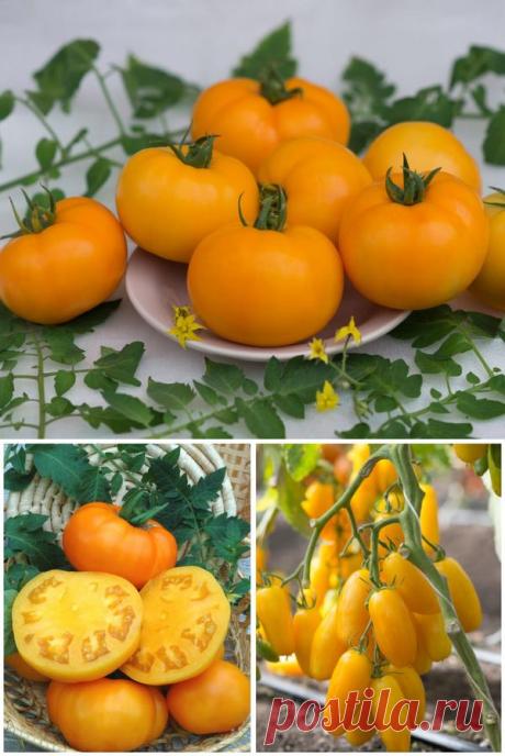 Los tomates amarillos: las clases y los híbridos de la agrofirma la BÚSQUEDA. La foto