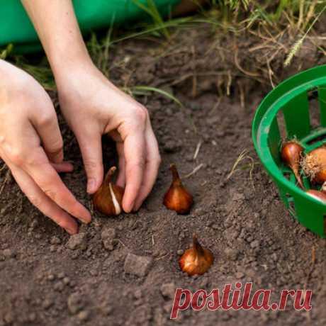 Урок 2. Высаживаем луковичные в грунт
