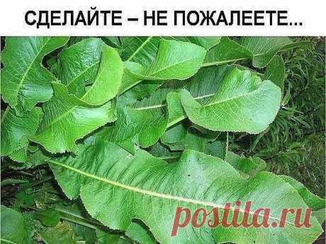 Хрен – единственное растение, способное вытягивать соль через поры кожи.   СДЕЛАЙТЕ – НЕ ПОЖАЛЕЕТЕ!  Избавиться от всей соли, которая накопилась в организме и может привести к солевым болезненным отложениям, помогут листья хрена..   Напоминаю проверенный и безотказный рецепт.   Возьмите свежие крупные листья хрена – 2 шт. Перед сном окуните их с двух сторон кипяток и сразу положите на спину, захватывая шею. Обвяжите тканью. Возможно легкое жжение, но боли нет.   Утром осто...