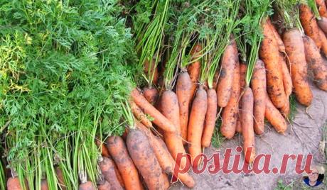 Июньская подкормка для моркови по рецепту моей мамы. Морковь просто «С УМА СХОДИТ» | 6 соток