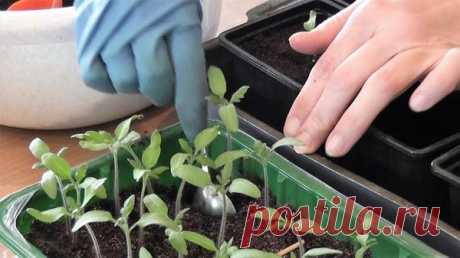 Правила распикировки томатов | 6 соток
