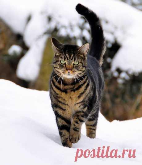 Norwegian Forest Cat in Snow