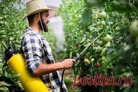 Кальциевая селитра от вершинной гнили у помидоров | Азбука огородника | Яндекс Дзен