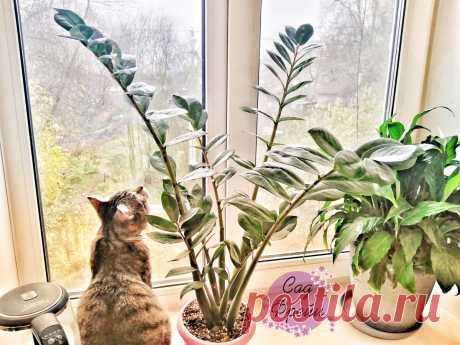 Чего хочет замиокулькас («Долларовое дерево»)? Рассказываю, какой уход ускоряет рост цветка и делает настоящим украшением дома | Сад Фрейи | Яндекс Дзен