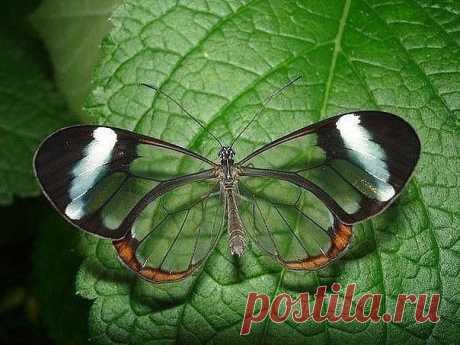 Бабочка Ithomia leila (Итомия), обитает в Центральной и Южной Америке  /  Прозрачная бабочка