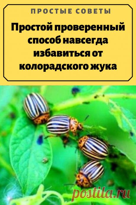 Простой проверенный способ навсегда избавиться от колорадского жука.Колорадский жук является проблемой для любого дачника. Если вовремя не предпринять меры, то урожай вашей картошки окажется под угрозой. Однако не все хотят использовать магазинные средства, так как в них содержатся отравляющие химические вещества, которые негативно влияют и на здоровье самого человека.