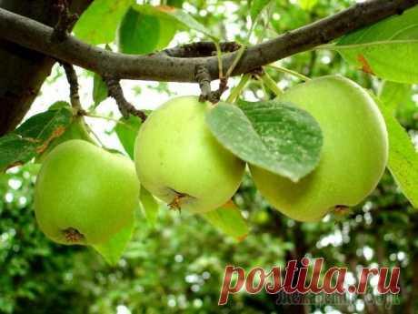 Воздушные отводки: размножение яблони без прививок У каждого садовода наверняка найдется старая любимая яблоня, которая уже долгие годы радует своих хозяев ароматными и вкусными плодами. И не всегда даже помнится сорт этого плодового дерева. А так хоч...