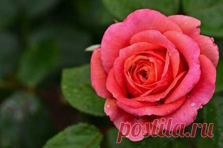 3 способа выращивания розы из букета