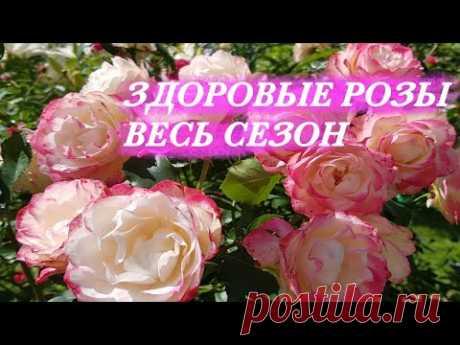 Мои розы НИКОГДА НЕ БОЛЕЮТ! Делайте так же, и вы НАВСЕГДА избавитесь от БОЛЕЗНЕЙ СВОИХ РОЗ!
