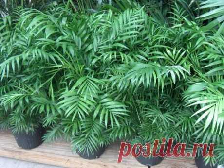 Хамедорея: идеальная пальма для ухода в домашних условиях