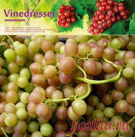 Уход за виноградом с августа по октябрь. Календарь работ