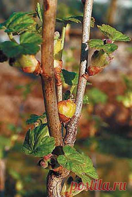 How to struggle with a pochkovy tick on currant.
