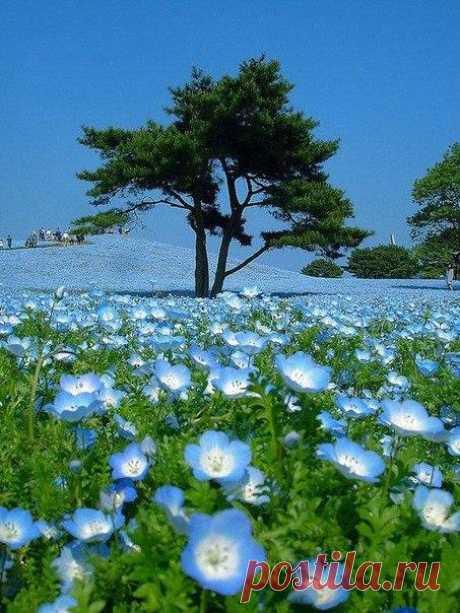 Когда небо упало на землю. Парк Хитачи-Сисайд (Hitachi Seaside Park), Япония