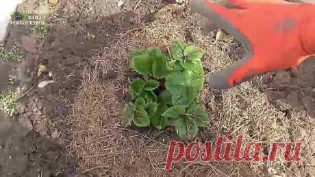 ПЯТЬ советов по КЛУБНИКЕ в апреле, для большого урожая ягод летом