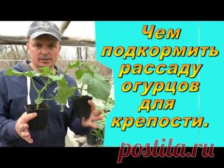 """Чем подкормить рассаду огурцов, чтобы она была """"жирненькой"""" и коренастой."""