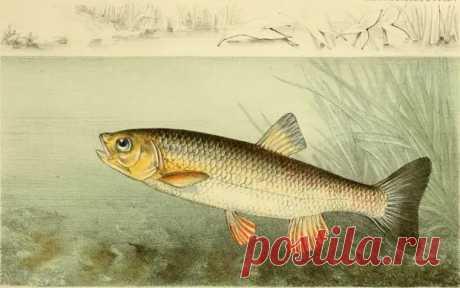 Голавль. Часть вторая - Охота и рыбалка - медиаплатформа МирТесен