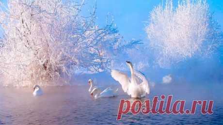Зимние лебеди. | Пикабу
