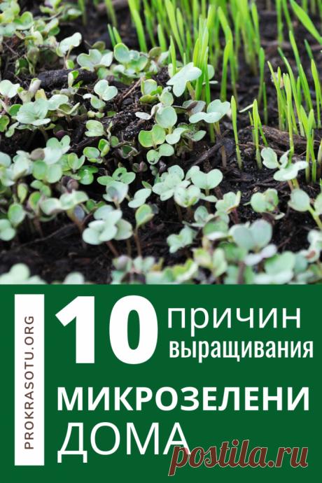 10 причин для выращивания микрозелени на подоконнике